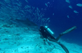 A diver watches as a tiger shark swims by, Fuvahmulah. PHOTO/FUVAHMULAH DIVE