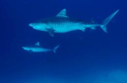 Two tiger sharks off the coast of Fuvahmulah. PHOTO/FUVAHMULAH DIVE