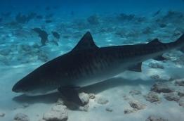 A tiger shark in the shallows of Fuvahmulah. PHOTO/FUVAHMULAH DIVE