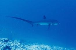 Thresher shark off the coast of Fuvahmulah. PHOTO/FUVAHMULAH DIVE
