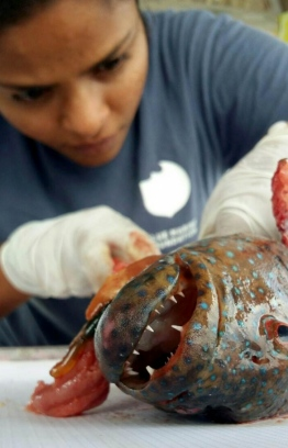 Shaa Hashim dissecting a grouper for research