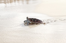 Given a new lease on life by Naifaru Juvenile, the rehabilitated turtles return to the call of home. PHOTO: AMAANY ABDULLA / THE EDITION