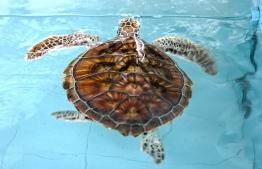 A turtle kept in rehabilitation at the Naifaru Juvenile. PHOTO: HAWWA AMAANY ABDULLA/ THE EDITION
