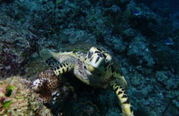 A turtle photographed during the PADI Women's Dive Day on July 21, 2018. PHOTO/MOODHU GOYYE