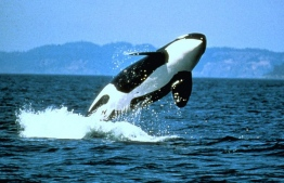 A killer whale leaping out of the water. PHOTO/SMITHSONIAN MAGAZINE