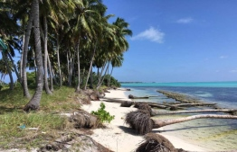 Coconut palms fallen by land erosion faced by Addu Atoll. PHOTO: MIHAARU