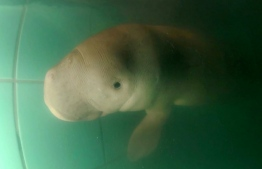 """An orphan baby dugong has been named """"handsome sea prince"""" by one of Thailand's  princesses. PHOTO: AFP"""