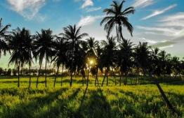 Coconut palms dividing the grassy fields of Thoddoo, Alif Alif Atoll. PHOTO: MIHAARU