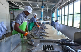 Employees at Maldives Industrial Fisheries Co (MIFCO) cleaning the fish before the processing begins. PHOTO: HUSSAIN WAHEED/ MIHAARU