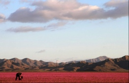 Flowers bloom at the Huasco region of the Atacama desert, some 600 km north of Santiago, Chile on Oct. 27, 2015. PHOTO: CARLOS AGUILAR/AFP