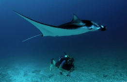 Diving with Manta Rays in Addu. PHOTO: MARC KOUWENBERG / AQUAVENTURE DIVE CENTER