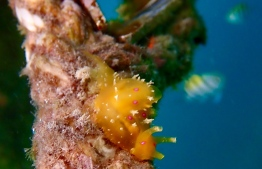 A nudibranch found at the underwater section of the floating solar panels. PHOTO: SWIMSOL MALDIVES