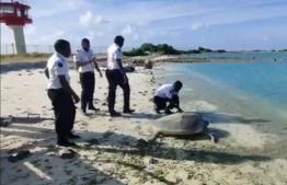 Screen grab of employees releasing the green turtle found at Maafaru International Airport. PHOTO: SOCIAL MEDIA