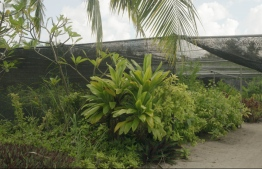 A look at the partially covered 'greenhouse' and some of the plants grown there. Abdul Bari has a large section of land dedicated to nurturing his product.   HOTO: HAWWA AMAANY ABDULLA / THE EDITION