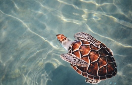A turtle pictured swimming in shallow waters. PHOTO: ADOLFO FELIX/UNSPLASH