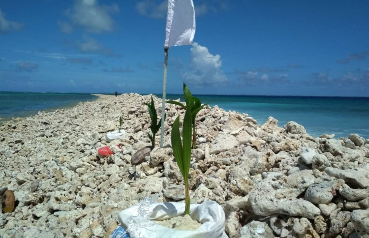 Palms and magoo planted in sand sacks on the new 'huraagandu' or islet formed near Ismehela Hera in Addu Atoll, in the wake of a spell of storm surges in mid-July 2020. PHOTO/NALAFEHI MEEDHOO