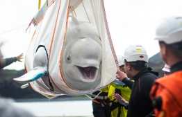 The beluga whales have moved to a sea sanctuary in Iceland after being released from a Shanghai aquarium. PHOTO/AFP
