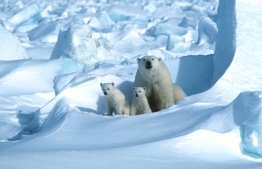 (FILES) In this file handout photo made available on July 17, 2020 by Polar Bears International shows a polar bear with its cubs in the Sea Ice, northeast of Prudhoe Bay in Alaska in 1985. (Photo by Steven C. AMSTRUP / POLAR BEARS INTERNATIONAL / AFP) /