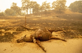 EDITORS NOTE:  / A dead cow lays along a smouldering field in Vacaville, California during the LNU Lightning Complex fire on August 19, 2020. - California was in a state of emergency on August 19, 2020 as dozens of fast-moving fires, many triggered by lightning strikes during an extreme heat wave, spread across the north and centre of the state, threatening homes and causing the evacuation of thousands of people. About 20 fires broke out in the area of Vacaville in the northern Bay Area, emergency services said, and were being collectively called the LNU Lightning Complex fire after the intense lightning storm that sparked the conflagration earlier in the week. (Photo by JOSH EDELSON / AFP)
