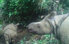 This handout still image taken from video footage on May 22, 2020 and released by the Environment and Forestry Ministry on September 20, 2020 shows a male Javan rhinoceros calf named Luther (L) in Ujung Kulon national park in Indonesia's Banten province. Two extremely rare Javan rhinoceros calves have been spotted in an Indonesian national park, boosting hopes for the future of one of the world's most endangered mammals. The rhino calves -- a female named Helen and male called Luther -- were seen with their mothers in footage taken from nearly 100 camera traps installed in Ujung Kulon national park between March and August. Handout / ENVIRONMENT AND FORESTRY MINISTRY / AFP