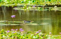 A bird swimming in Maakilhi, dotted with lotus plants. PHOTO: TWITTER