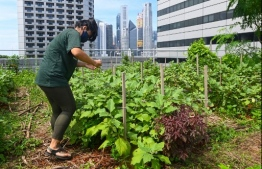 This photograph taken on September 7, 2020 shows a staff member tending to a rooftop garden used for urban farming to grow edible plants above the Raffles City mall in Singapore. - On the rooftop of a Singapore shopping mall, a sprawling patch of eggplants, rosemary, bananas and papayas stand in colourful contrast to the grey skyscrapers of the city-state's business district. (Photo by Roslan RAHMAN / AFP) /