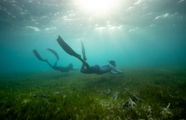 """Seagrasses are flowering plants that adapted to survive underwater 100 million years ago. Just like plants on land, seagrasses photosynthesise and release oxygen as a by-product"". PHOTO: MATT PORTEUS / OCEAN CULTURE LIFE"