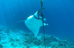 A manta ray entangled in a mooring system. Environmental Protection Agency (EPA) urged relevant persons to be more cautious in docking boats and establishing mooring systems to prevent harming marine megafauna. PHOTO: EPA