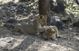 This picture taken on January 7, 2021 shows lion cubs playing in their open enclosure at the Sakkarbaug Zoological Garden, which takes part in a captive breeding programme for endangered Asiatic lions, in Junagadh, some 320 kilometers from Ahmedabad. - An outbreak of a deadly viral disease among Asiatic lions in India's Gir forest is keeping conservationists on their toes amid fears that another epidemic could devastate the last surviving population of the endangered species. (Photo by SAM PANTHAKY / AFP) /