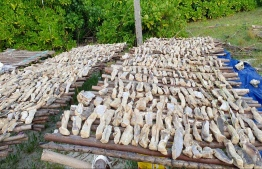 Shark fins being dried in Alifu Dhaalu Dhigurah: fishing and export of shark products was banned in Maldives in 2010.