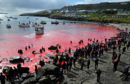 """(FILES) In this file photo taken on May 29, 2019 people gather in front of the sea, coloured red, during a pilot whale hunt in Torshavn, Faroe Islands. - Every summer in the Faroe Islands, hundreds of pilot whales and dolphins are slaughtered in drive hunts known as the """"grind"""" that inhabitants defend as a long-held tradition. -- Photo: Andrija Ilic / AFP"""