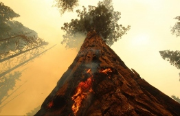 In this handout image courtesy of the Bureau of Indian Affairs (BIA) released on September 19, 2021, flames spread up a tree (the flames were put out by firefighters using hoses) as the Windy fire burns along the Trail of 100 Giants in the Sequoia National Forest, near Ponderosa, California  -- Photo: Mike McMillan / various sources / AFP)