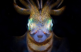 Southern calamari squid (Sepioteuthis australis) at night in Bushrangers Bay, New South Wales, Australia. Third place: Exploration Photographer of the Year Photograph: Matty Smith