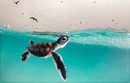 A green sea turtle hatchling cautiously surfaces for air, to a sky full of hungry birds, Heron Island, Queensland, Australia. Winner: Young Ocean Photographer of the Year Photograph: Hannah Le Leu