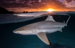 A lone blacktip reef shark's dorsal fin is aligned with the setting sun in Mo'orea, French Polynesia. Winner: Female Fifty Fathoms award Photograph: Renee Capozzola