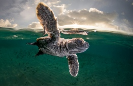 A hawksbill turtle hatchling, just 3.5cm long and a few minutes old, takes its first swim from Lissenung Island, Papua New Guinea. Third place: Ocean Photographer of the Year Photograph: Matty Smith