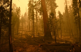 A firefighter prepares sprinkler hose lines to protect trees amid burned ground in Long Meadow Grove, a Giant Sequoia tree grove, after fire burned through along the Trail of 100 Giants during the Windy Fire in the Sequoia National Forest near California Hot Springs, California on September 23, 2021. -- Photo: Patrick T. Fallon/ AFP